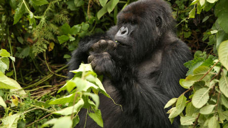 The Best Way to Trek Mountain Gorillas in Africa