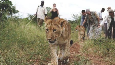 Tauck Guests To Walk With Lions On New Safari