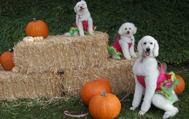 Yappy Howl-O-Ween Celebration at The Ritz-Carlton, Laguna Niguel