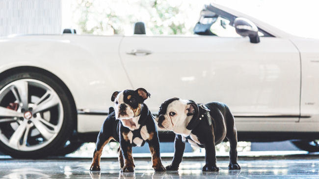 The London West Hollywood Welcomes Bulldog Puppy Mascots