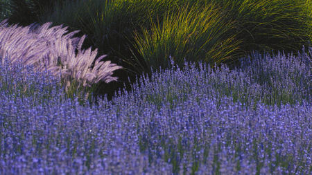 Bernardus Lodge Celebrates Lavender Season