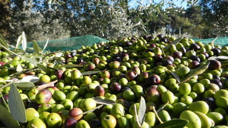 New Tuscan Olive Harvesting Experience from Luxo Italia