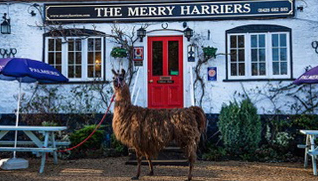 Peter de Savary's Merry Harriers - The UK's first Llama Trekking Inn