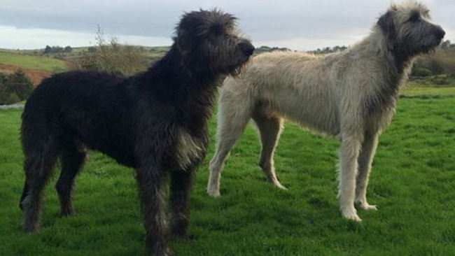 Two Regal Irish Wolfhounds Join Ashford Castle's Estate