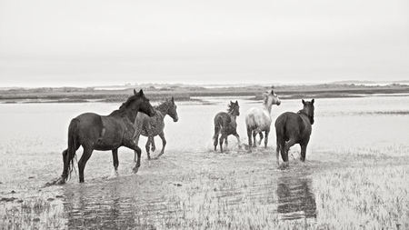 The Wild Horses of Cumberland Island