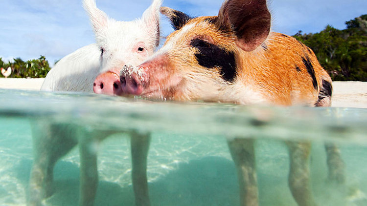Meet the Most Instagrammed Pigs in Exuma with Grand Isle Resort & Spa