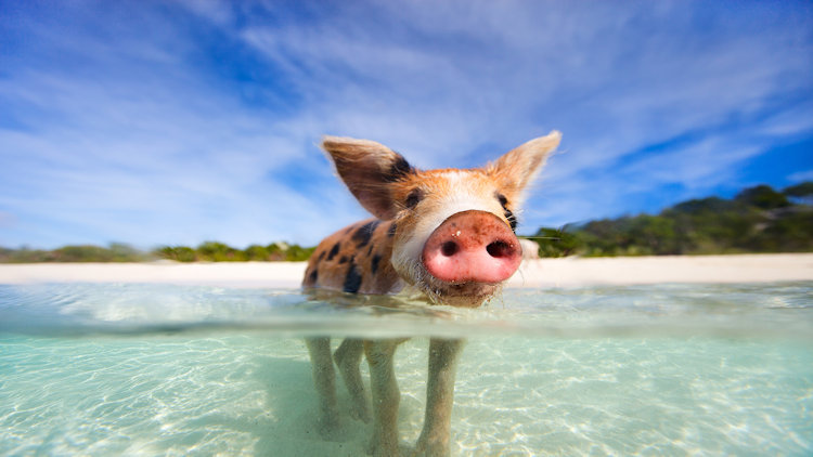 swimming with pigs bahamas