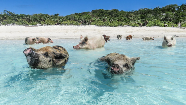 Caribbean trip pigs in water