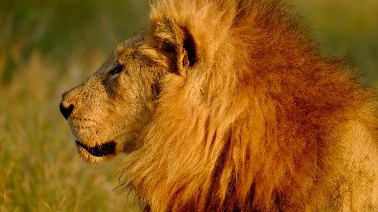 Dulini River lodge lion
